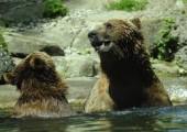 Jak przeżyć walkę z niedźwiedziem?